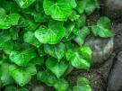 ivy-1476907_1280
